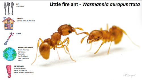 graphic illustration on fire ants