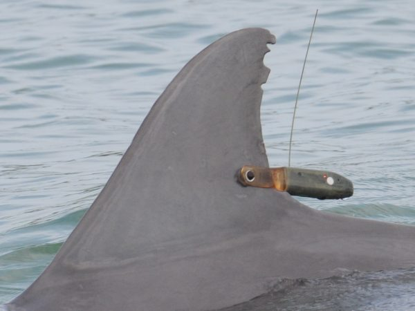 A satellite-linked, time-depth-recording tag on an adult female bottlenose dolphin in Sarasota Bay, Florida. (Photo taken by the Chicago Zoological Society's Sarasota Dolphin Research Program under National Marine Fisheries Service Scientific Research Permit No. 15543. Courtesy Dr. Randall Wells).
