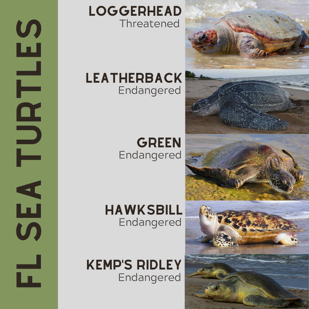 florida sea turtles