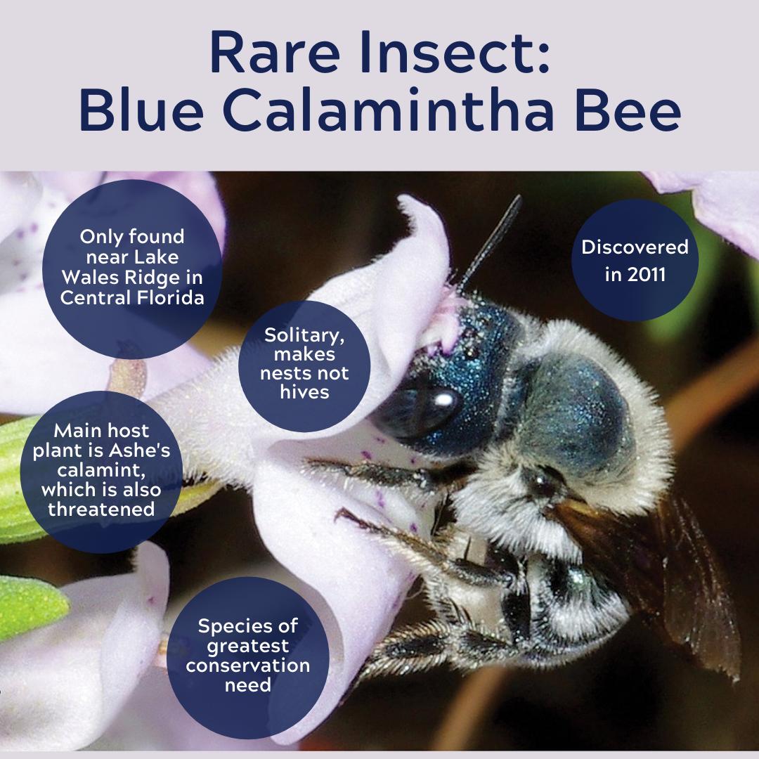 blue calamintha bee
