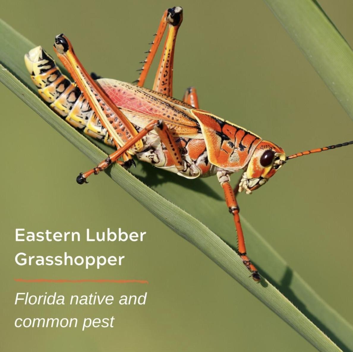 FL grasshopper