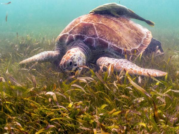 Sea Turtle in Seagrass