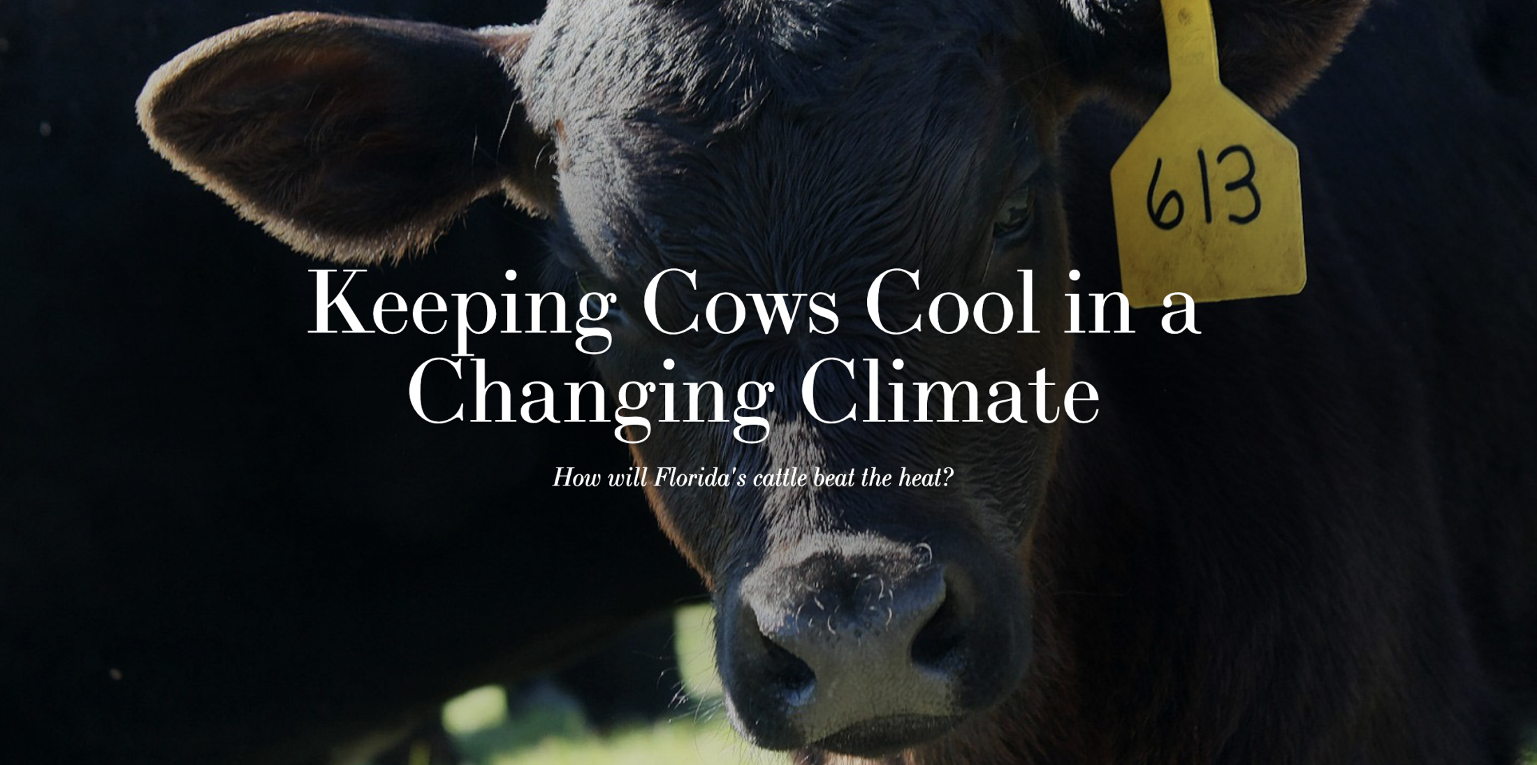 Keeping Cows Cool in a Changing Climate