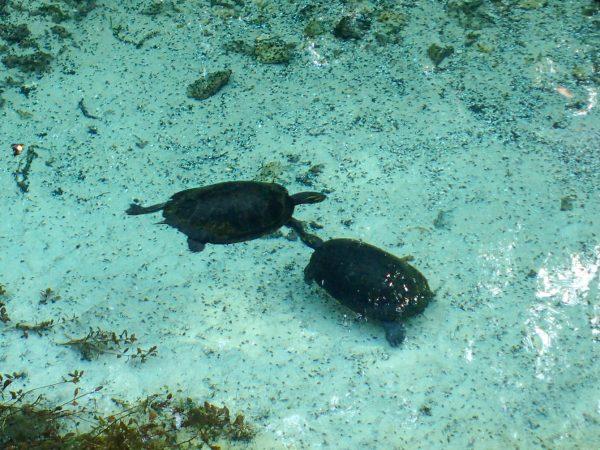 Florida Springs Turtles
