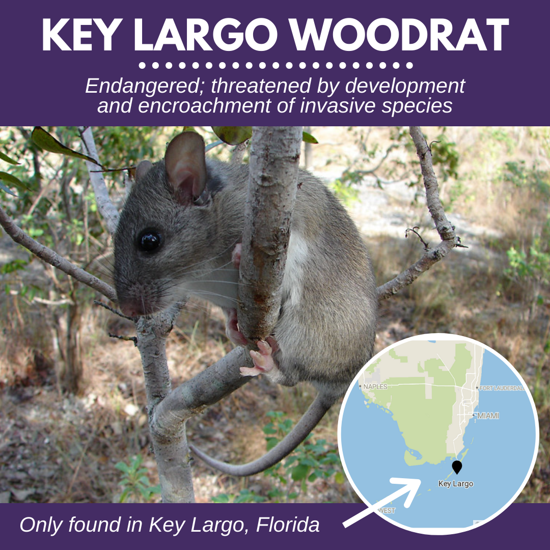 Key Largo Woodrat