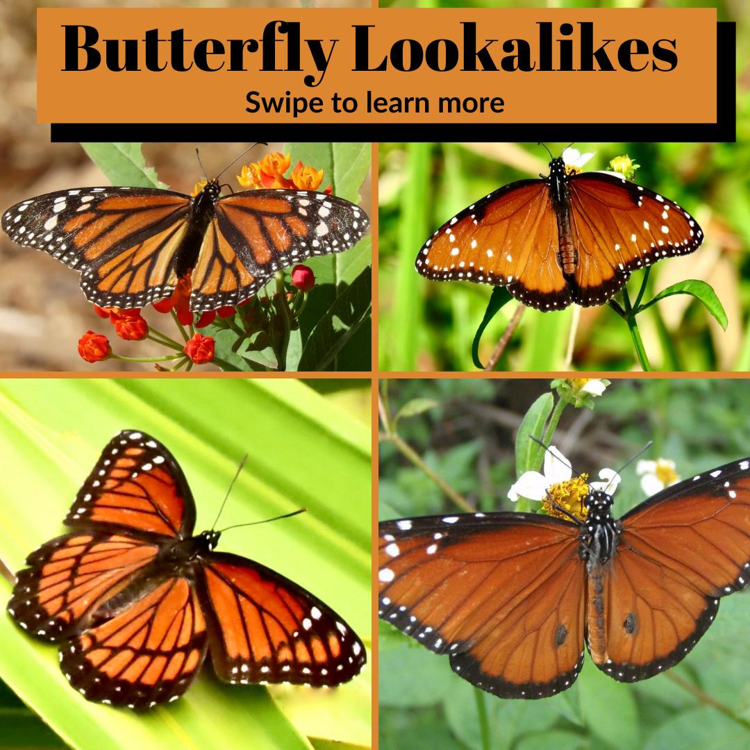 Butterfly Lookalikes