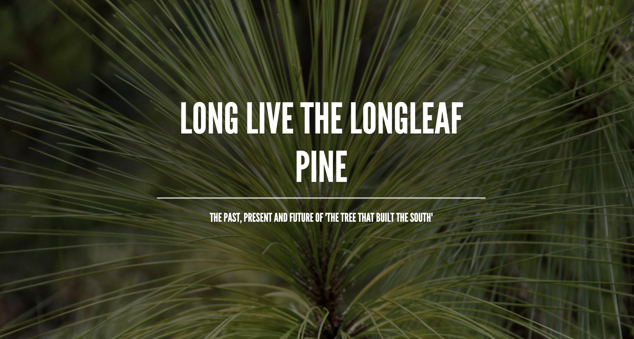 Long Leaf Pine Header