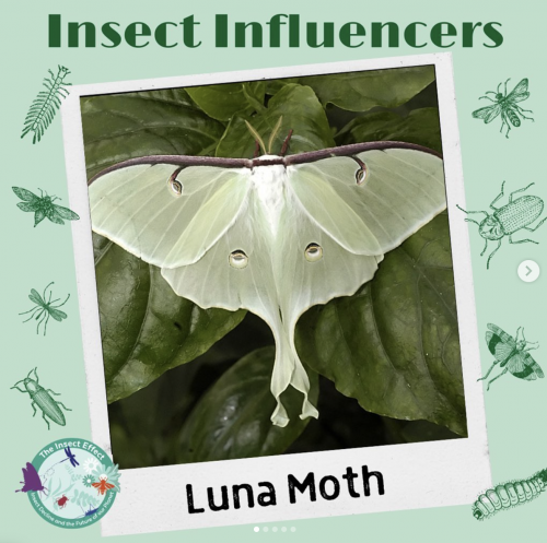 Luna Moth - Insect Influencers