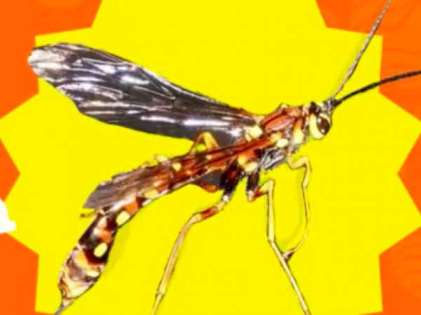 Giant Ichnuemon Wasp