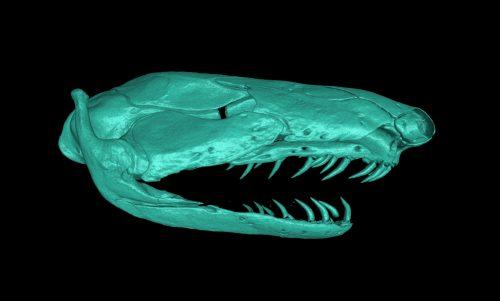 Caecillian skull scan