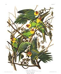illustration of Carolina Parrots