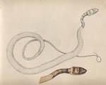 Coachwhip Snake
