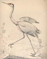 great sandhill crane