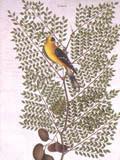 illustration of American Goldfinch