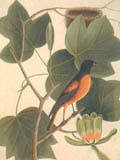 illustration of Baltimore Bird