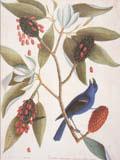 illustration of Blue Gross Beak