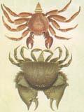 illustration of crabs
