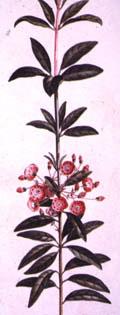 illustration of Kalmia