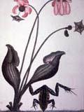 illustration of pitcher plant
