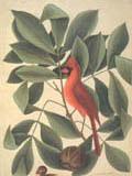illustration of cardinal