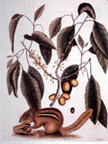 illustration of chipmunk
