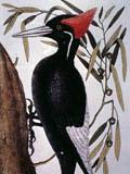 illustration of White Bill Wood Pecker on Willow Oak