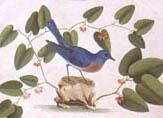 illustration of bluebird