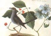 illustration of mockingbird