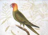 illustration of carolina parakeet