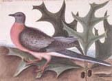 illustration of passenger pigeon
