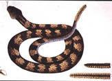 illustration of rattlesnake