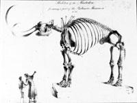 sketch of mastodon skeleton