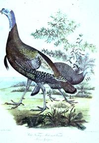 illustration of turkey