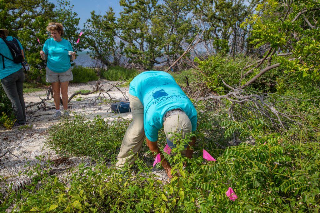 Volunteers releasing Miami blue pupae in the Florida Keys. Photo: Geena M. Hill