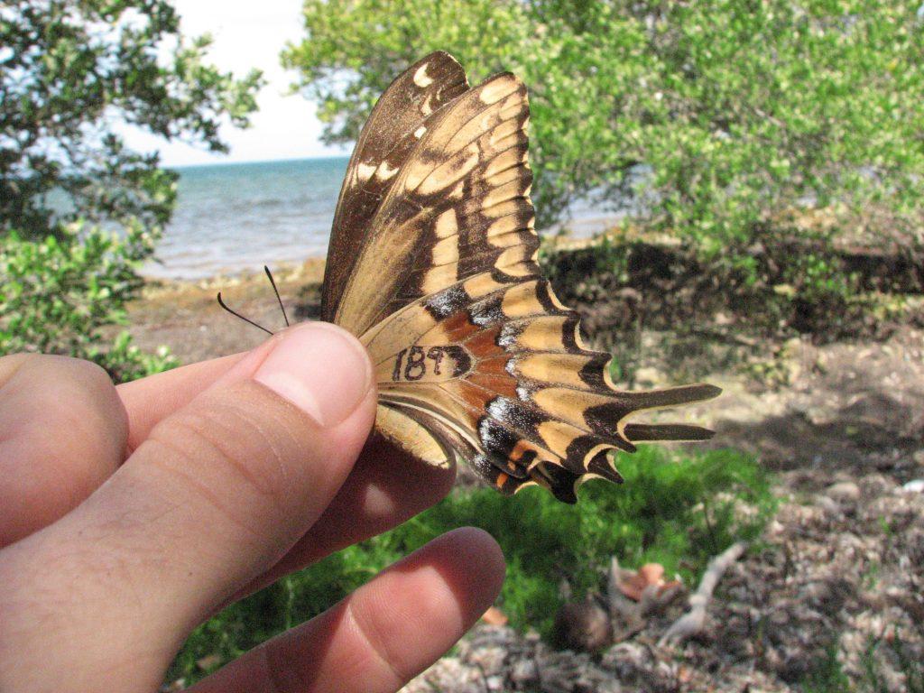 A Schaus' butterfly after being marked for monitoring. Photo: Matt Standridge