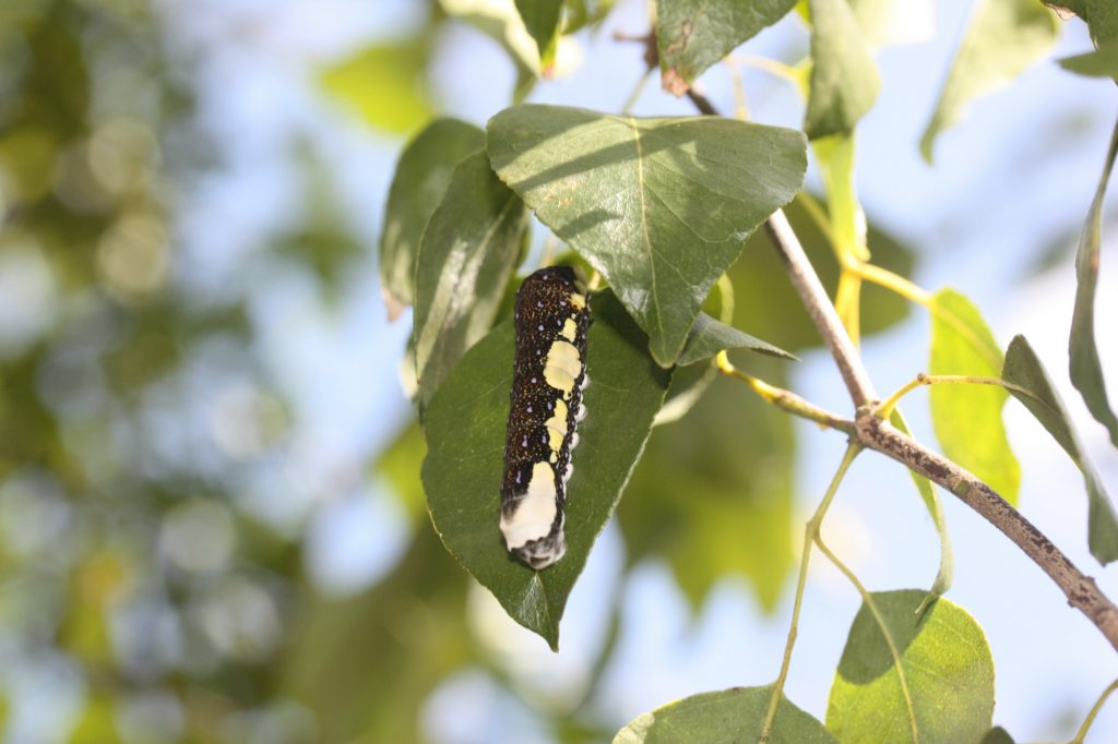 A schaus' larva eating Torchwood. Photo: Geena M. Hill