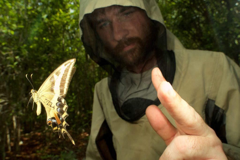 Jon Bremer releasing a Schaus' butterfly after capturing and marking. Photo: Lary Reeves