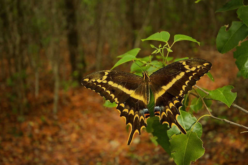 Schaus' swallowtail butterfly. Photo: Lary Reeves