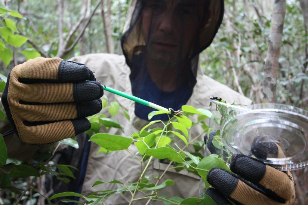 Matt Standridge releasing Schaus' larvae. Photo: Geena M. Hill