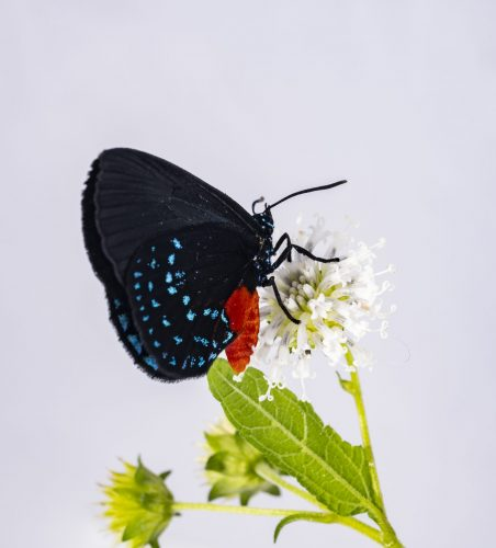 Eumeaus atala drinking from a flower