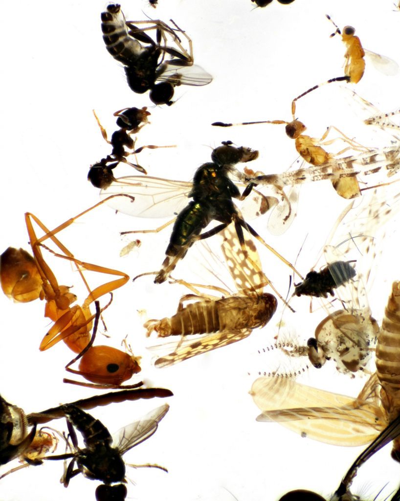 A small sample of the insects that were collected for the Plant for Wildlife project as seen under the microscope.