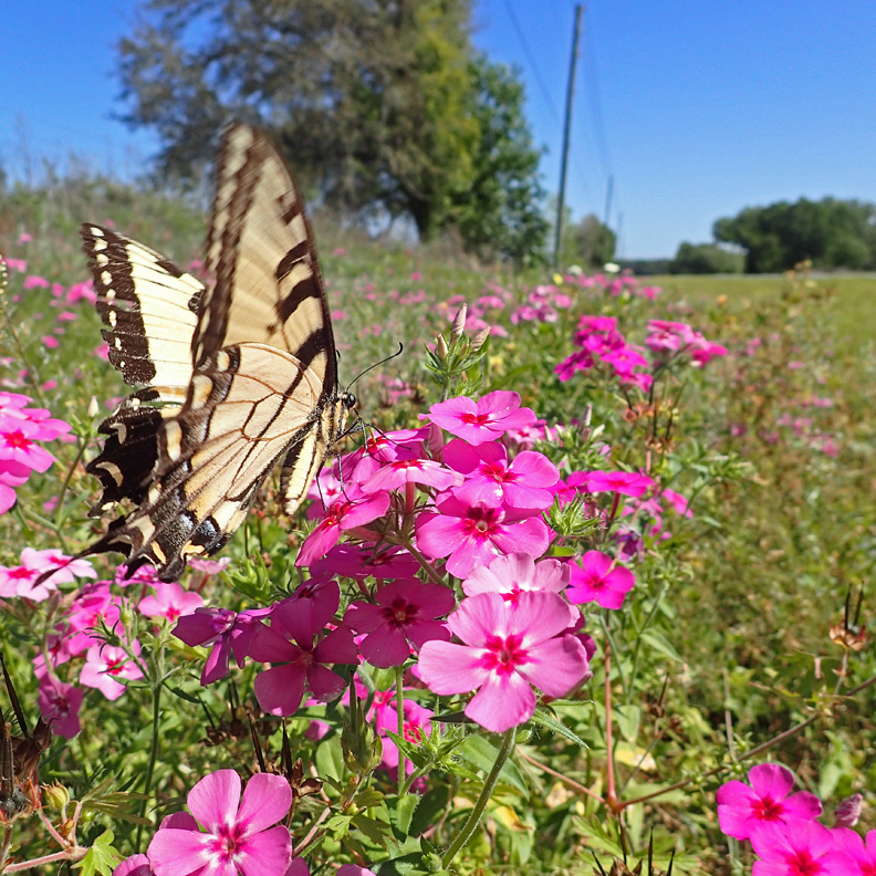 An Eastern Tiger Swallowtail gathers nectar from an annual Phlox flower along an FDOT maintained highway.