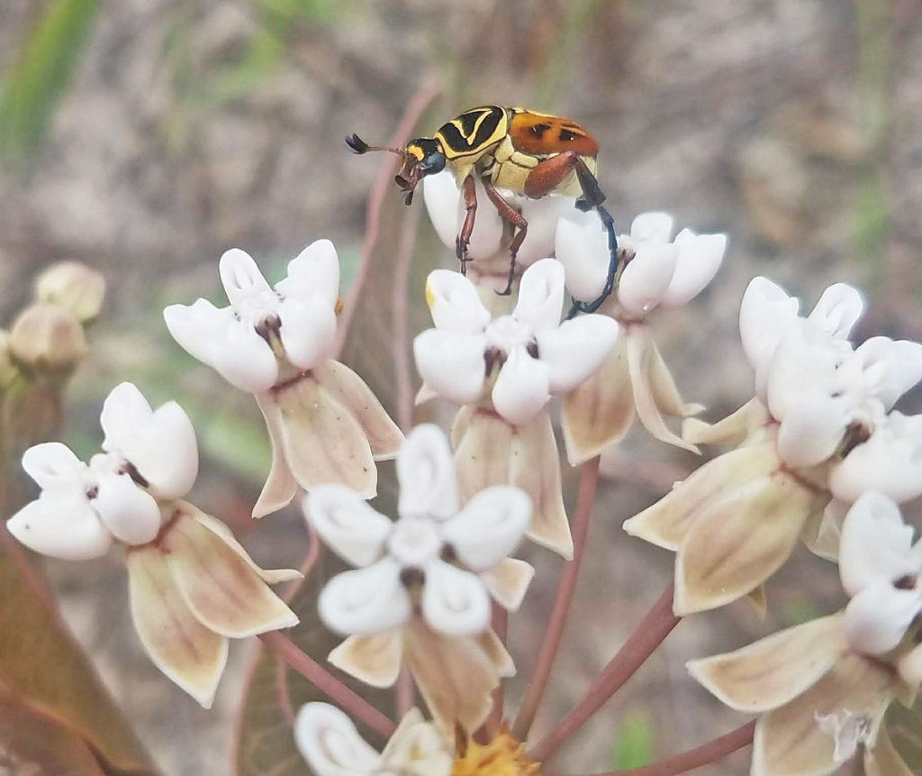 A Delta Scarab Beetle collects pollen and nectar from a Sandhill Milkweed flower along an FDOT maintained highway.