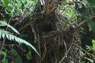 Chlorospingus flavogularis Nest