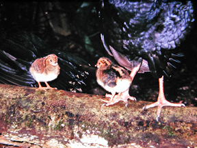 nestlings of the Salvin's Curassows