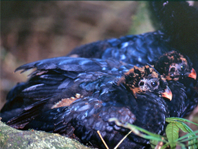 Juevniles of the Salvin's Curassows