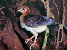 Juvenile of the Salvin's Curassows