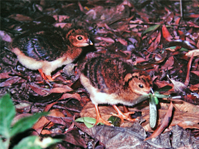 One week old nestling of the Salvin's Curassows