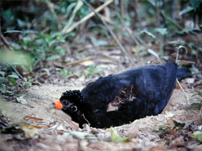 Female of Black Curassows