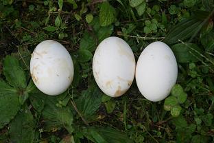 Ortalis guttata egg